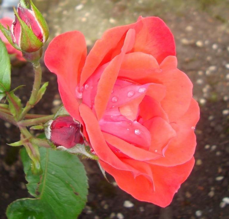 Rosée ou pluie ?