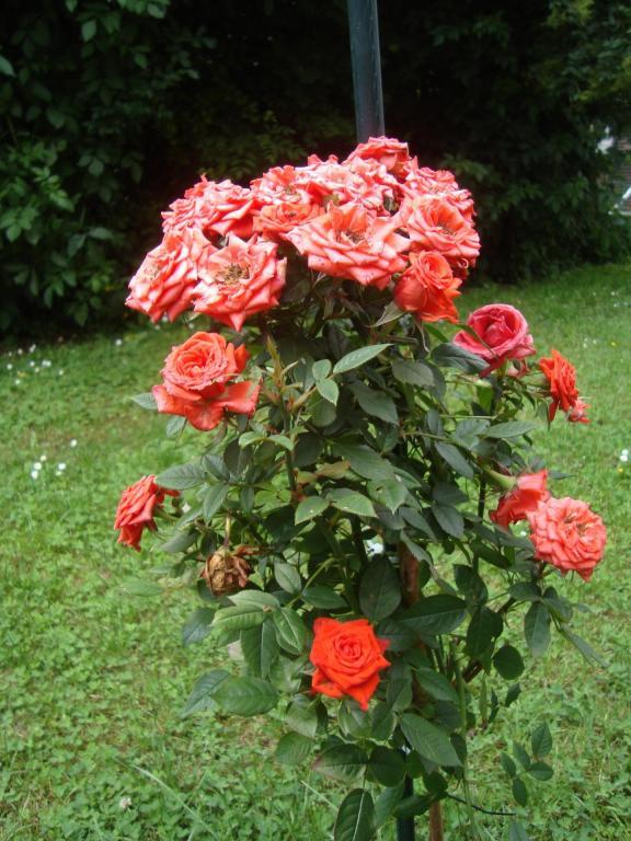 le rosier d'Annick