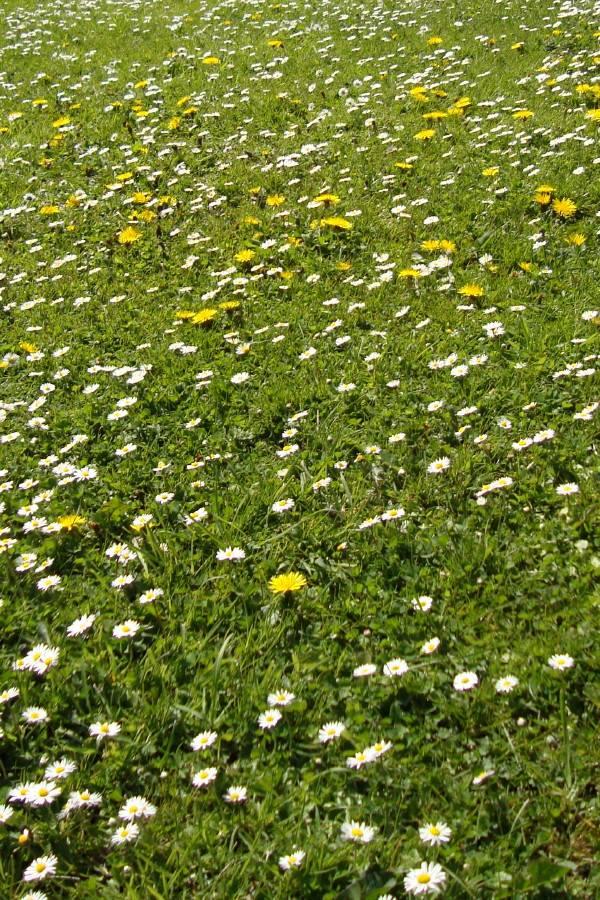 3 mai 2006 au jardin : herbe, pissenlits et pâquerettess