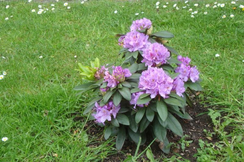 9 mai 2019 Rhododendron