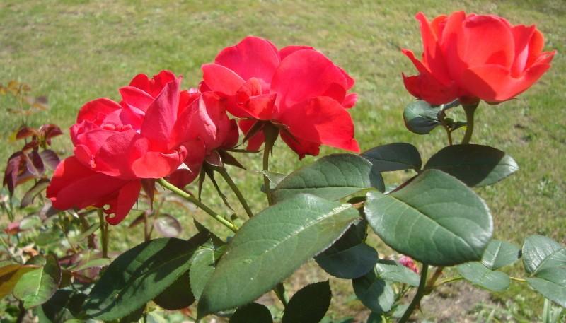 28 août 2019 Roses d'Annick