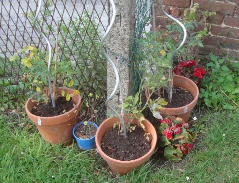 3 pots de plants de tomates-cerises, du basilic et des bégonias