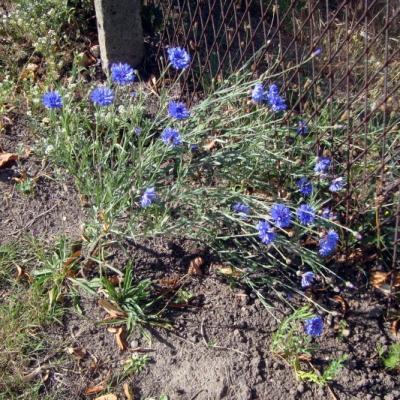 Fleurs vivaces dont j'ignore le nom, belles, je trouve, et vous ?