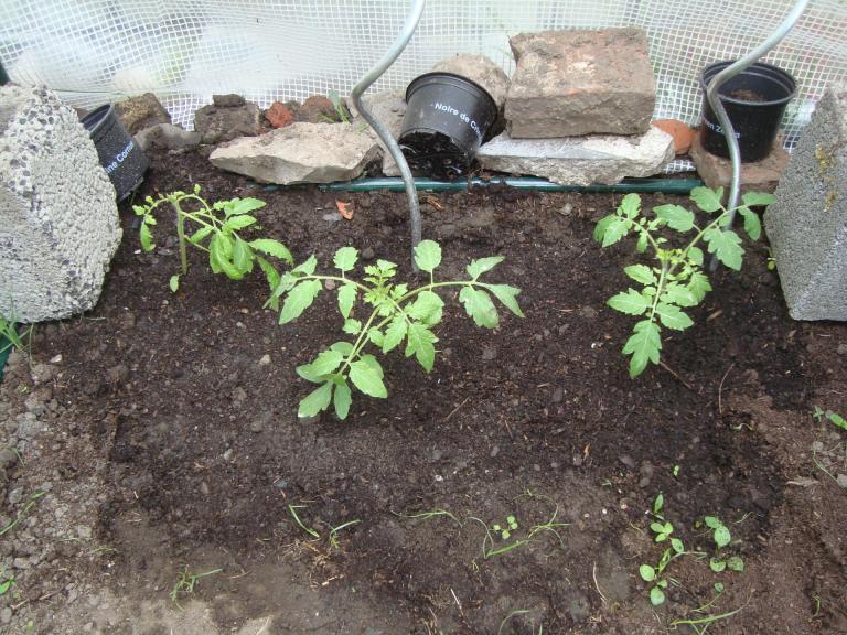 Plants de tomates dans la serre