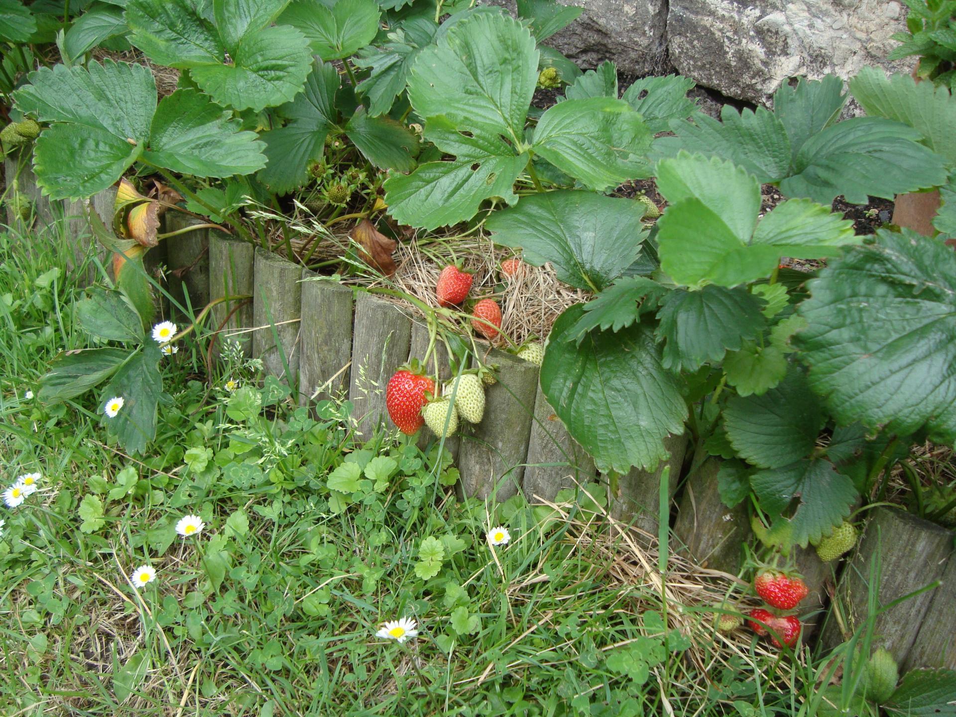 les fraisiers
