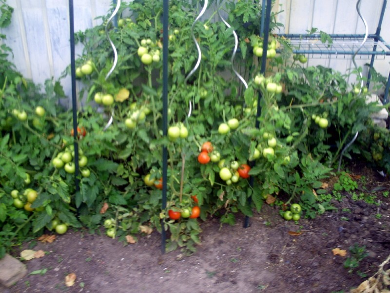plants de tomates jardin 26 juillet 2017