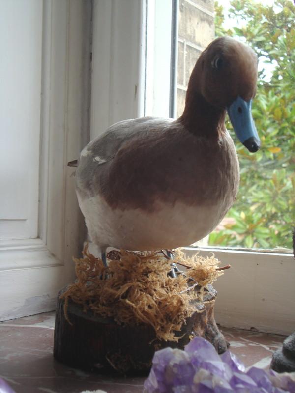 Le canard au bec bleu